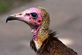 Hooded vulture Royalty Free Stock Photography