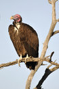 Hooded vulture a perching on a bare tree branch Stock Photo