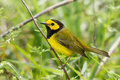 Hooded warbler perching on a twig in front of green brush Stock Images