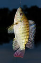 Hooked fish, fresh Tilapia close up Royalty Free Stock Photo