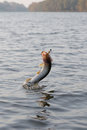Hooked pike is fighting for freedom jumping out of water motion blur Stock Photo