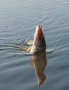 Hooked pike in water daylight Royalty Free Stock Image