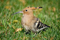 Hoopoe Royalty Free Stock Photos
