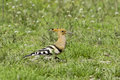 Hoopoe bird in natural habitat upupa epops on the ground Stock Photos