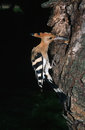 Hoopoe feeding chick at nest hole in a tree Stock Photography