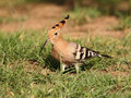 Hoopoe in the grass Royalty Free Stock Image