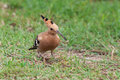 Hoopoe with prey bird upupa epops on the ground larva at its bill Stock Image