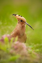 Hoopoe, Upupa epops, beautiful bird sitting in the grass, bird with orange crest, Spain Royalty Free Stock Photo