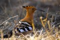 Hoopoe upupa epops in kruger national park south africa Royalty Free Stock Photo