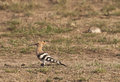 Hoopoe upupa epops searching for food in a steppe meadow Royalty Free Stock Photos