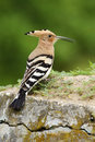 Hoopoe, Upupa epops, sitting on the stone, Hungary Royalty Free Stock Photo