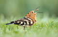 Hoopoe upupa epops stands in damp grass Royalty Free Stock Photography