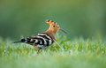 Hoopoe upupa epops stands in damp grass Royalty Free Stock Image