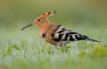 Hoopoe upupa epops stands in damp grass Stock Image