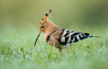 Hoopoe upupa epops stands in damp grass Royalty Free Stock Photo