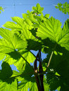 Hop – Beer Plant Royalty Free Stock Photo