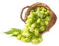 Hop in a basket fresh green cones Royalty Free Stock Photography