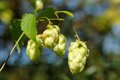 Hop cones humulus lupulus growing on a twig Stock Photo