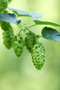 Hop cones on the plantation for beer production Royalty Free Stock Photos