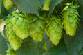Hop cones- raw material for beer production Stock Images
