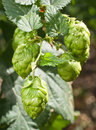 Hop cones raw material for beer production Royalty Free Stock Image