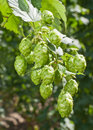 Hop cones raw material for beer production in the garden Royalty Free Stock Photo