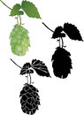 Hop culture agriculture plant vector Stock Images