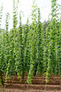Hop field Royalty Free Stock Photography