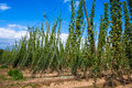 Hop field in alsace france Stock Photo