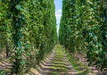 Hop field in alsace france Stock Photos