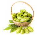 Hop fresh cones in a basket Royalty Free Stock Photography