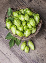 Hop fresh cones in a basket Royalty Free Stock Images