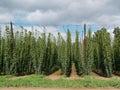 Hop garden in žatec grow region czech republic Stock Photography