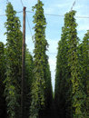Hop garden Stock Photo