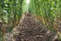 Hop garden Stock Images