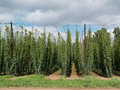 Hop garden in žatec grow region czech republic Stock Photography