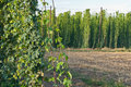 Hop garden detail of in the summer Stock Photography