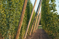 Hop garden a in the vegetation Royalty Free Stock Photos