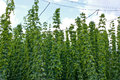 Hop garden in the vegetation Royalty Free Stock Photography
