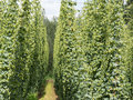 Hop garden in zatec grow region czech republic Royalty Free Stock Photography