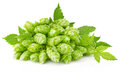 Hop with green leaf and twig Stock Photography