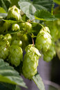 Hop plant Stock Photo