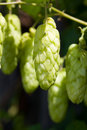 Hop plant Royalty Free Stock Photos