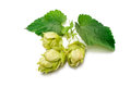 Hop plant green isolated on white background Royalty Free Stock Photo