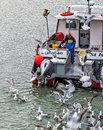 Hoping for a fish supper hungry seagulls some left overs as this little fishing boat returns into st ives harbour in cornwall uk Royalty Free Stock Images