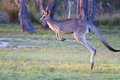 Hopping kangaroo large wild in australia Royalty Free Stock Images