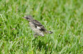 Hopping mockingbird baby jumping around on grass field fort myers florida Royalty Free Stock Photos
