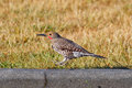 Hopping northern flicker a male on a curb with grass background Stock Photos