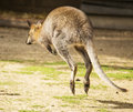 Hopping wallaby image of a Royalty Free Stock Photography
