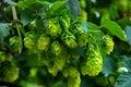 Hops farm #21 Royalty Free Stock Photo